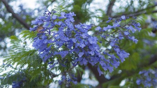 蓝花楹的花语