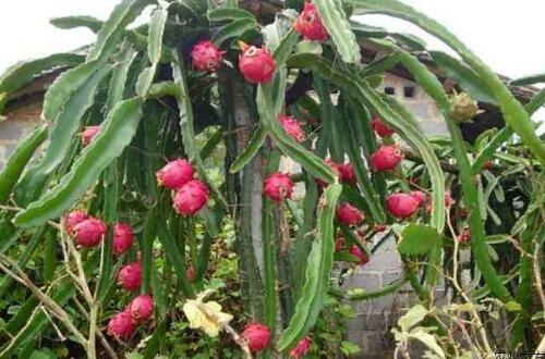 火龙果的种子怎么种盆栽,六个步骤播种出美味的火龙果