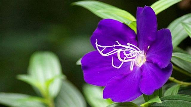 紫蝴蝶花Yes? 养