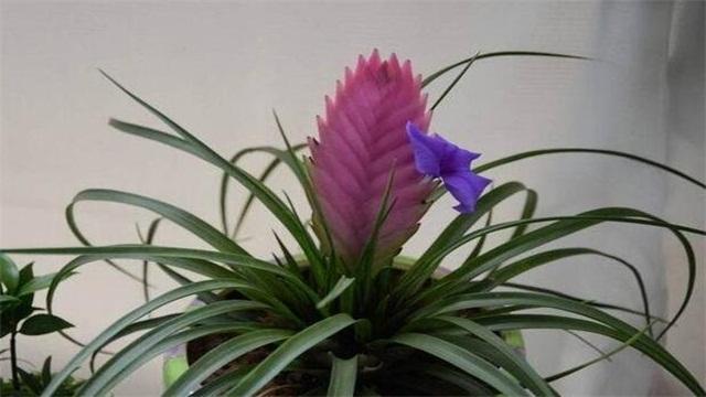 鐵蘭花的養殖方法