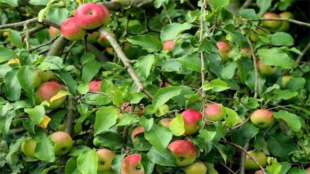 苹果树几年结果