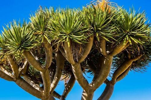 龙血树为啥栽三颗,三棵龙血树更好看更饱满