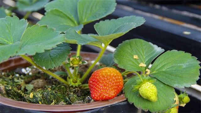 一个花盆种几棵草莓