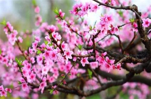 会开花的树有哪些,盘点十种常见会开花的树