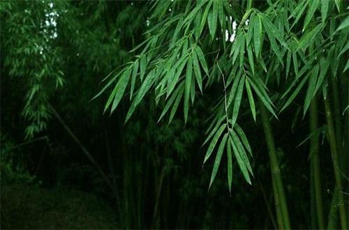 竹子生长过程,无性到有性繁殖周期交替