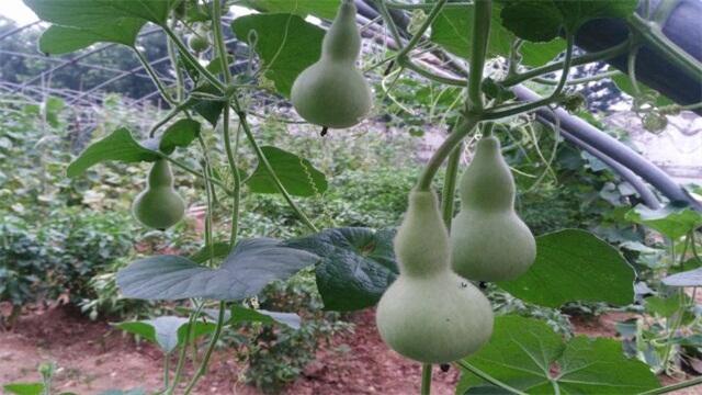 葫芦怎么种植