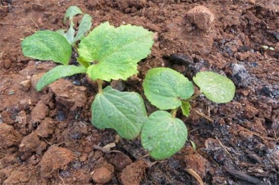 秋葵种植方法