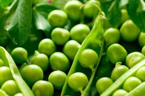 豌豆什么时候播种
