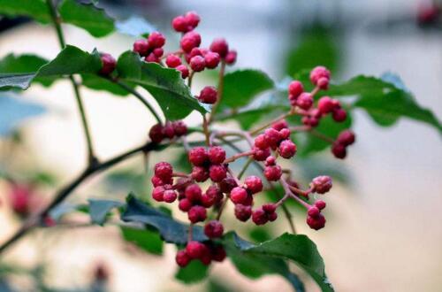 花椒树怎么种