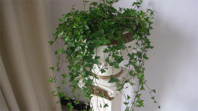 冬天不落叶的爬藤植物