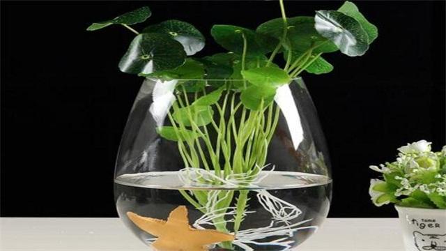 如何水培绿萝