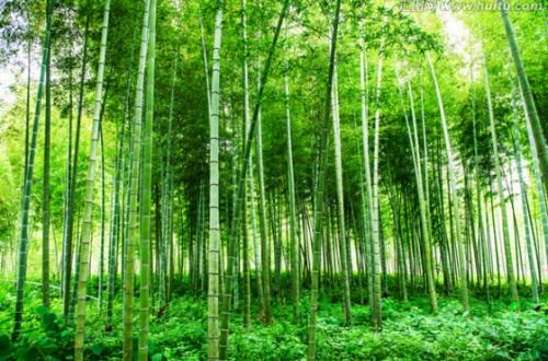 竹子的寓意是什么,不屈虚心朴实善良