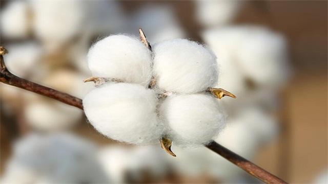 棉花的花语是什么