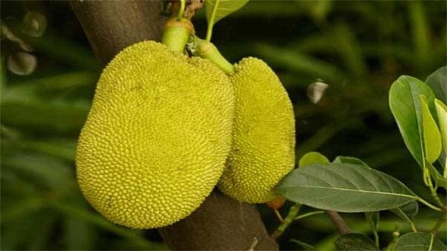 菠萝蜜怎么种