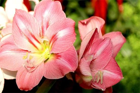 粉色百合花语