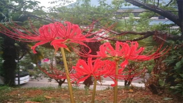彼岸花是什么花