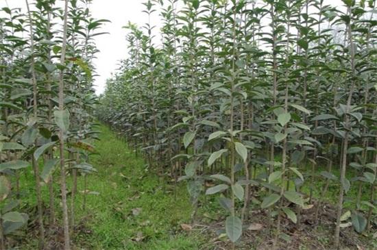 桂花苗多少钱一棵,桂花树苗批发价格