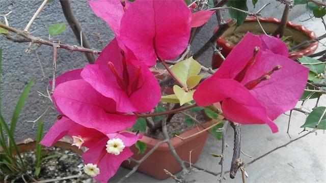 三角梅要开花的征兆,长出花苞预示开花