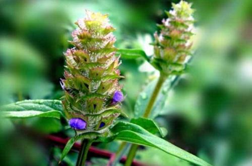夏枯草的副effect与禁忌,脾胃虚弱及风湿患者慎食