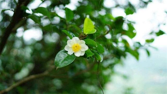 茶树花Yes? 养殖