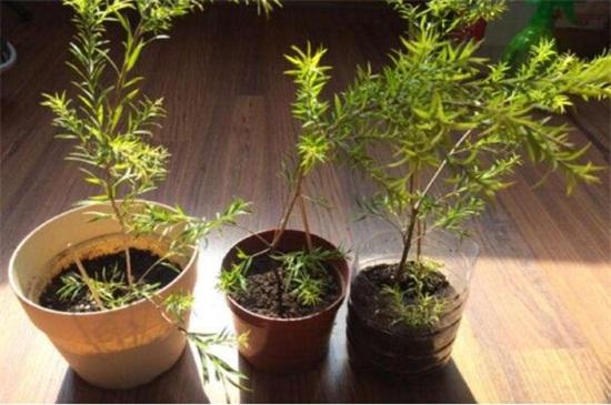 茶树花怎么养殖