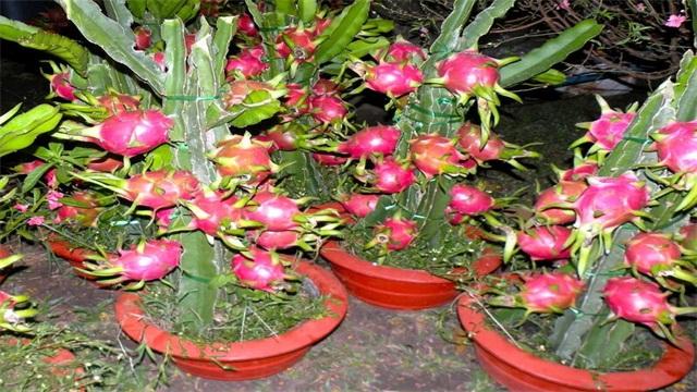 火龙果籽怎么种小盆栽