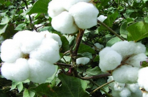 棉花价格行情,价格上涨明显但收益降低