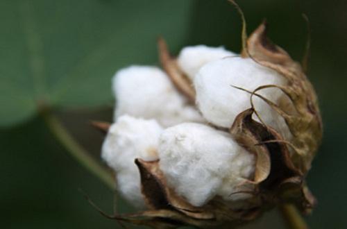 棉花价格多少钱一斤,价格在9.5~14元/公斤