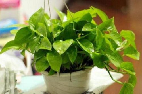 绿萝的养护方法,6个要点轻松养护