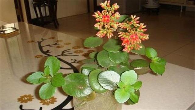 长寿花可以水培吗