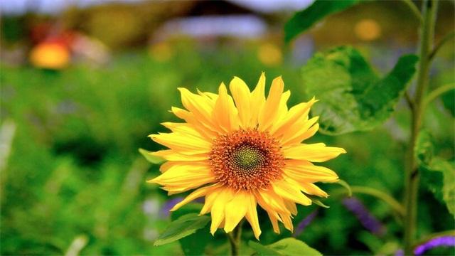 向日葵怎么养