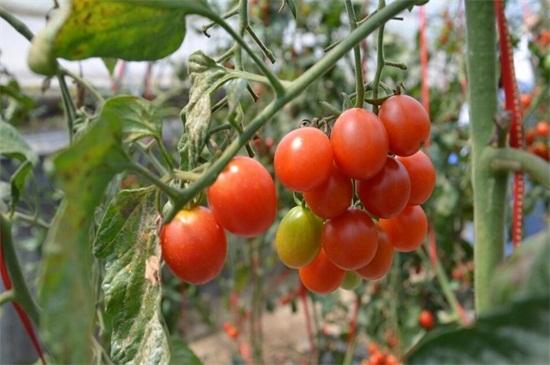 小番茄种植管理技术,做好播种和管理各四步
