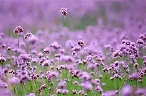 马鞭草的种植方法