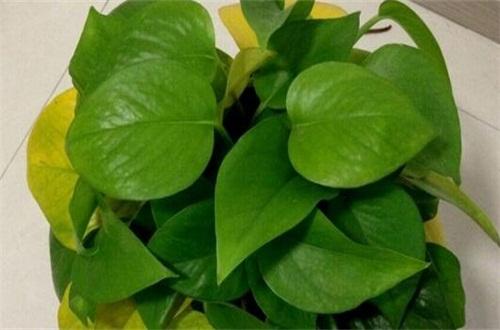 綠植物葉子發黃怎么辦,六個辦法教你養護