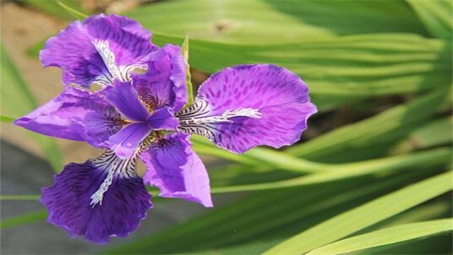 鸢尾花隐藏花语