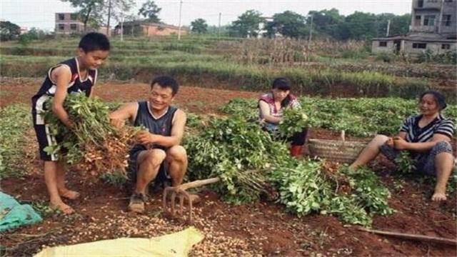 农民如何快速摘花生,六种方法加快花生脱粒