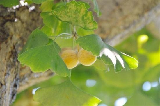 银杏树叶子有什么作用,有美容养颜/降低血糖多种作用