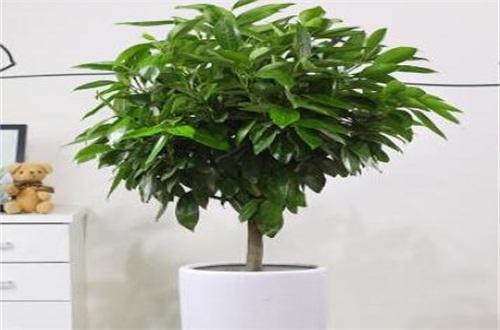 新栽的平安树怎么养