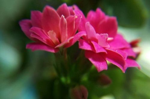 长寿花扦插方法图解,3个步骤轻松掌握