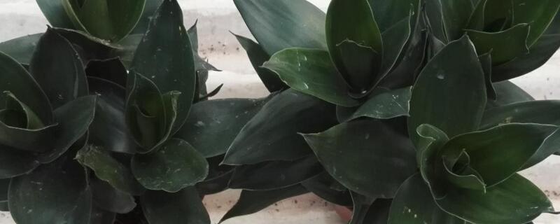 莲花竹为什么养三棵