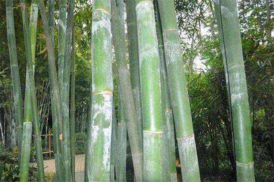 竹子的种类和名称大全