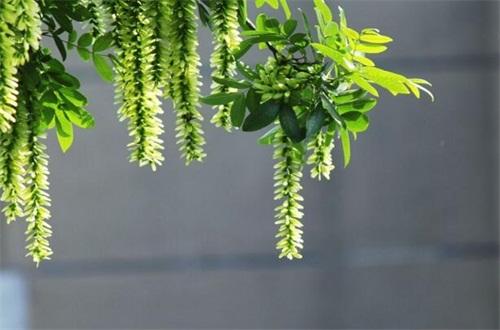 元宝树多久浇一次水,平常十天一次