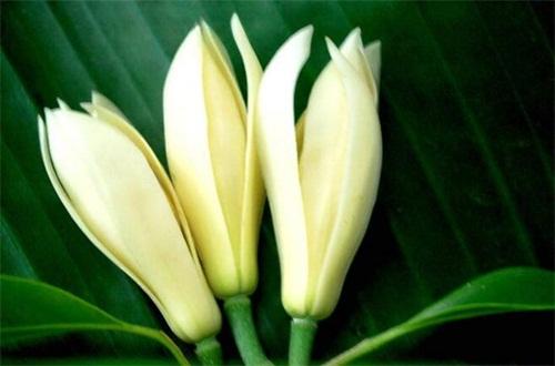 白兰花的花语是什么,纯洁的爱报恩