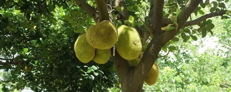 菠萝蜜树几年可以结果