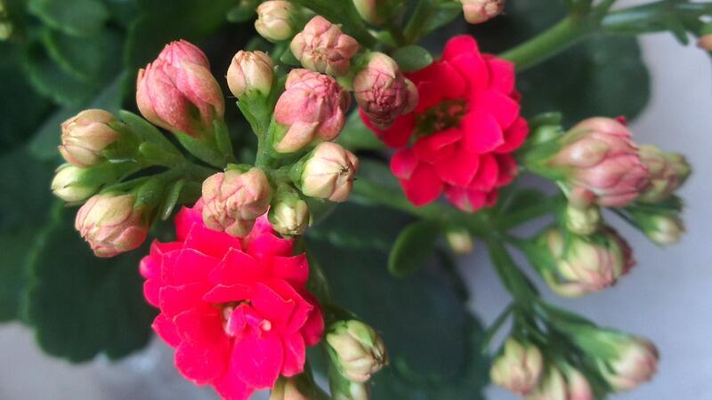长寿花什么时候开花
