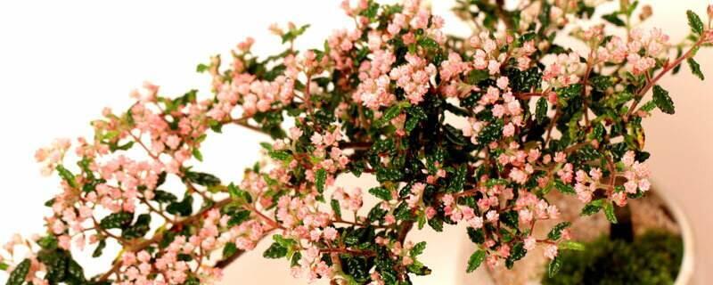 花椒树几月移栽最好