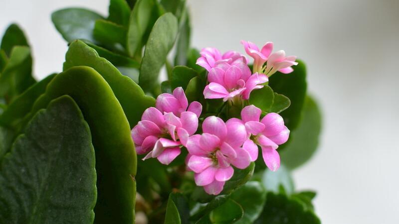 长寿花怎么繁殖