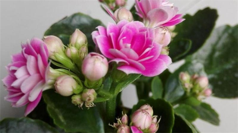 长寿花的养殖方法和注意事项