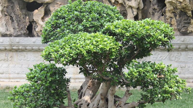 榕树盆景怎么养