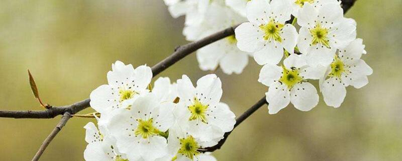 梨花什么季节开